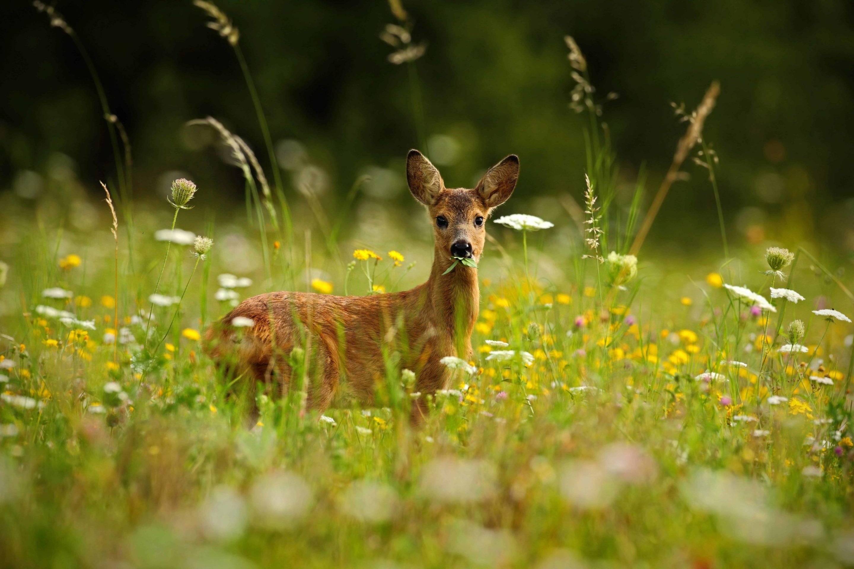 Neugieriges Reh auf einer grünen Wiese